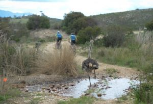 An ostrich chasing riders during stage one of the Cape Pioneer Trek. Photo: Marike Zoon