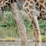A well-time photo of a rider watching a giraffe at the TransCape MTB Encounter. Photo: Jacques Marais