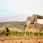 Giraffes were aplenty at the TransCape MTB Encounter. Photo: Jacques Marais